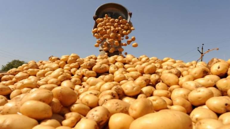136 طن من البطاطس يتلفها المكتب الوطني للسلامة الصحية لهذا السبب